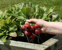 growing vegetables in containers radish