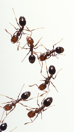 natural ant killer